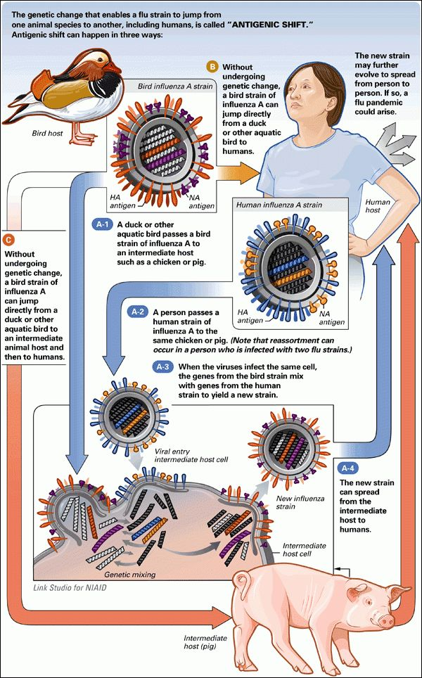 Nieman Guide to Covering Pandemic Flu | The Science | How Flu ...
