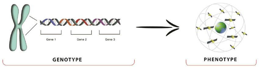 Example of a chromosome and its genes with the genotype and ...