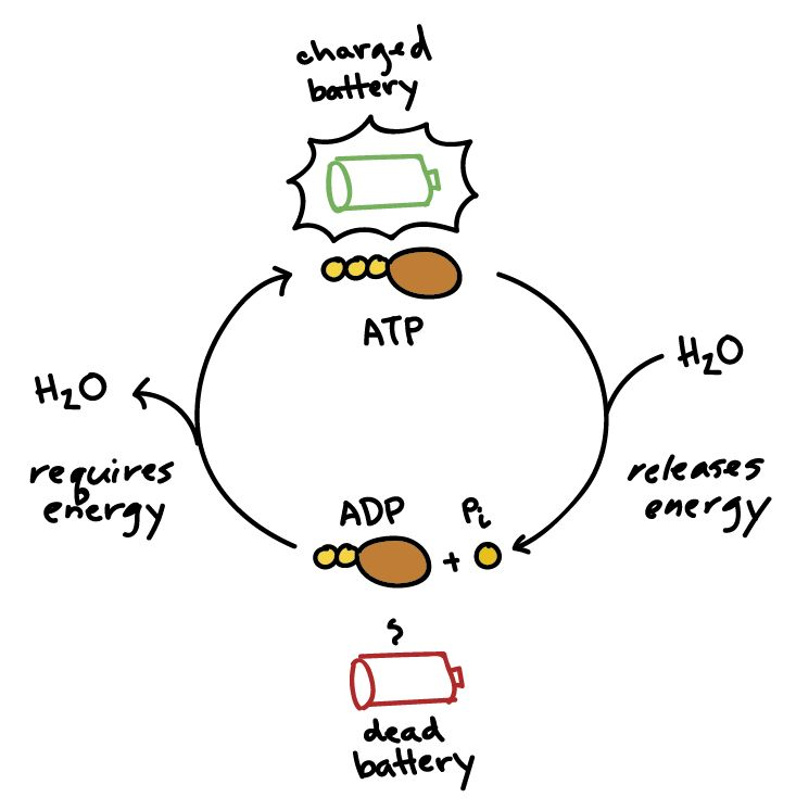 ATP and reaction coupling (article) | Khan Academy