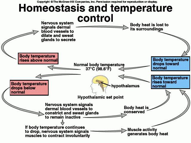 Homeostasis (Example) - MindMeister