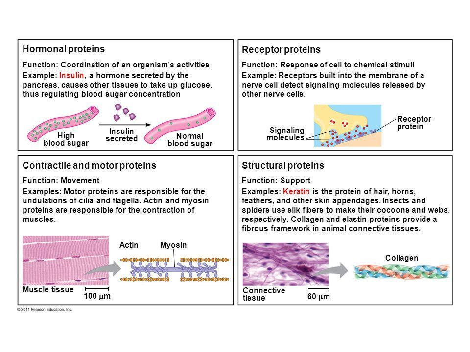 The Structure and Function of Large Biological Molecules Protein ...