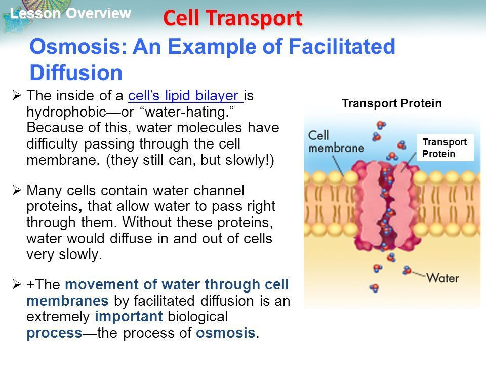 Lesson Overview Lesson Overview Cell Transport THINK ABOUT IT ...