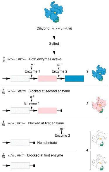 BIOL2250: Genetics