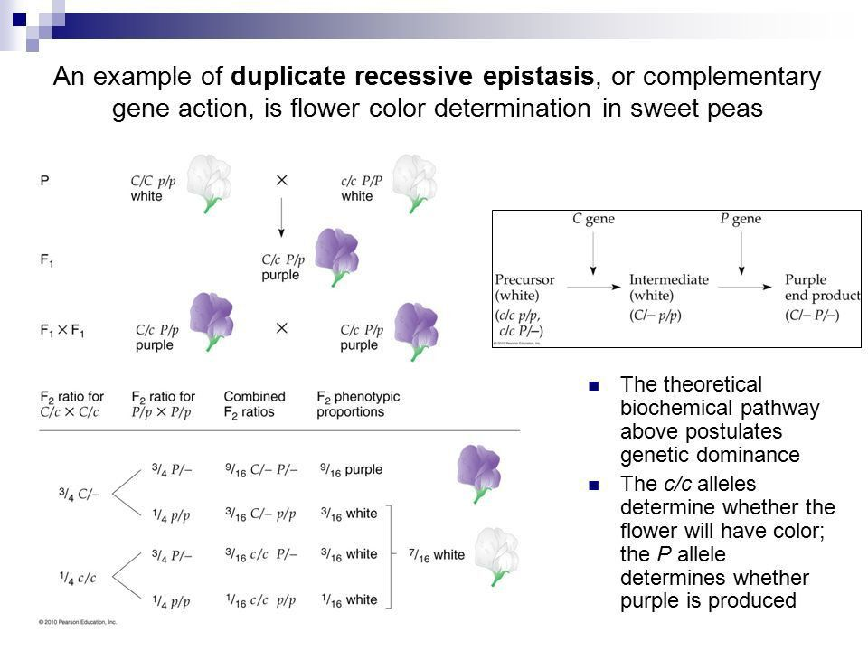 Extensions of & Deviations from Mendelian Genetic Principles - ppt ...