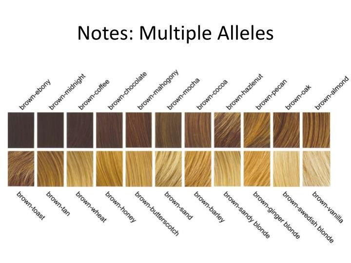 PPT - Notes: Multiple Alleles PowerPoint Presentation - ID:2853679