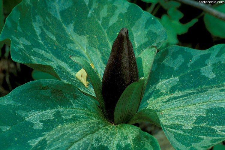 The Carnivorous Plant FAQ: autotrophic or heterotrophic?