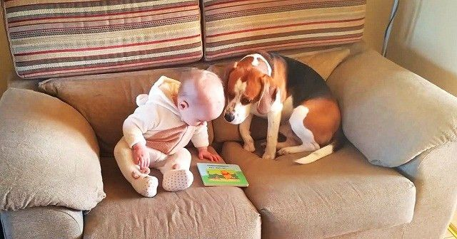 The best babysitter ever - Beagel never had to be taught how to ...