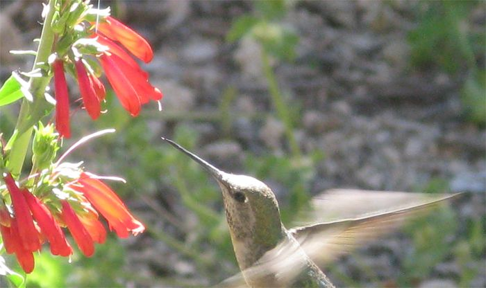 Study of flowers' co-evolution with bees and hummingbirds earns ...