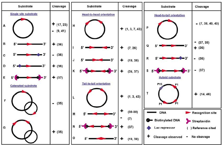 Orientation of recognition sites and cleavage ability of Type III ...