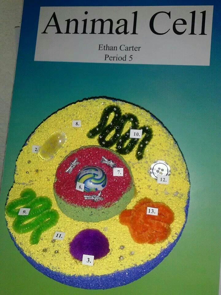 animal cell science project Purpose: the purpose of this project is to make a 3d model of a cell in order to better understand the parts and workings of a cell using household items make a three-dimensional model of a plant or animal cell that meets the criteria listed below (sample items: cereal, balloons, gummi worms .