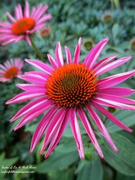 Cone Flower ~ In A S