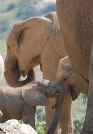 Elephant Family by C