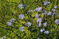 Cichorium intybus -