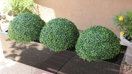 Boxwood balls on dis