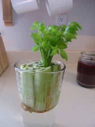 Growing Celery From