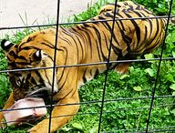 Sumatran tiger with