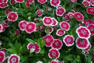 Dianthus chinensis '