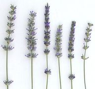 Types of lavender +