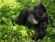 Mountain Gorilla in