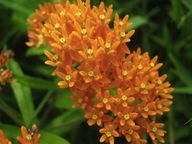 Butterfly Weed! Not