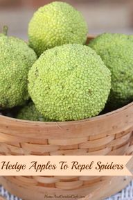 Use Hedge Apples to