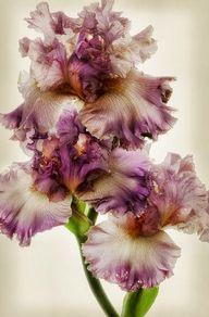 Frilly Iris