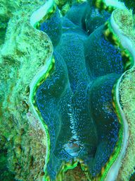 Giant Clam: Great Ba