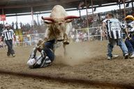 A bull rears above a