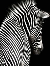 Zebra - www.abillion