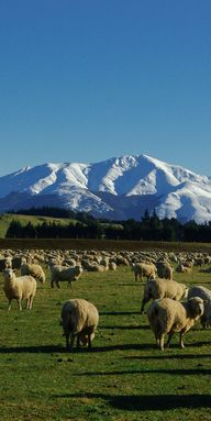 Sheep and snow - The