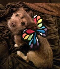 Dog Costume Wings. R