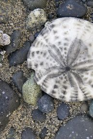 sand dollar | Flickr