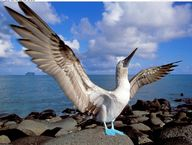 Blue footed booby...