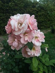 Astrid Lindgren rose