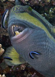 Titan Triggerfish Te