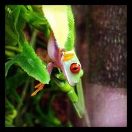 Red-eyed tree frog a