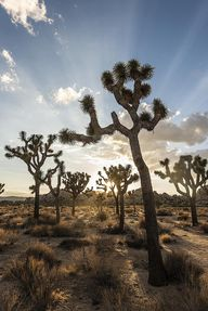 Joshua Tree. Photo c