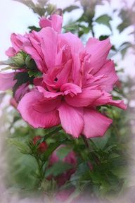 Tree Rose Of Sharon