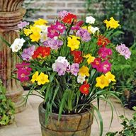 20 Double Freesias M