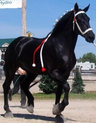 The Percheron is ver