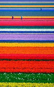 Tulip fields in the