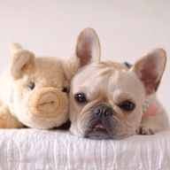 French Bulldog and h