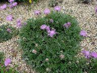 Centaurea bella #pla