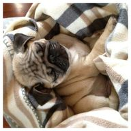 Sleepy pug puppy