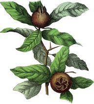 Botanical Medlar Fru