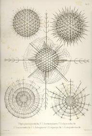 Ernst Haeckel: Die R