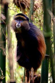 Golden monkey in sou