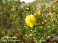 Ononis ramosissima -