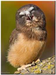 Owl giggles.