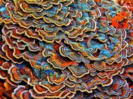 Polypore Mushrooms i